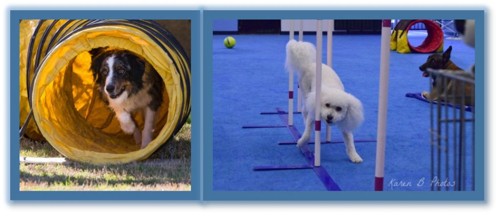 dog sports classes, dog agility classes, dog doing weaves, dog in tunnel