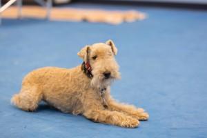 dog obedience, dog training, dog handling, down stay