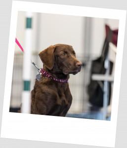 dog obedience, dog training, dog handling