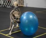 Treibball – Urban Herding Sport For Dogs