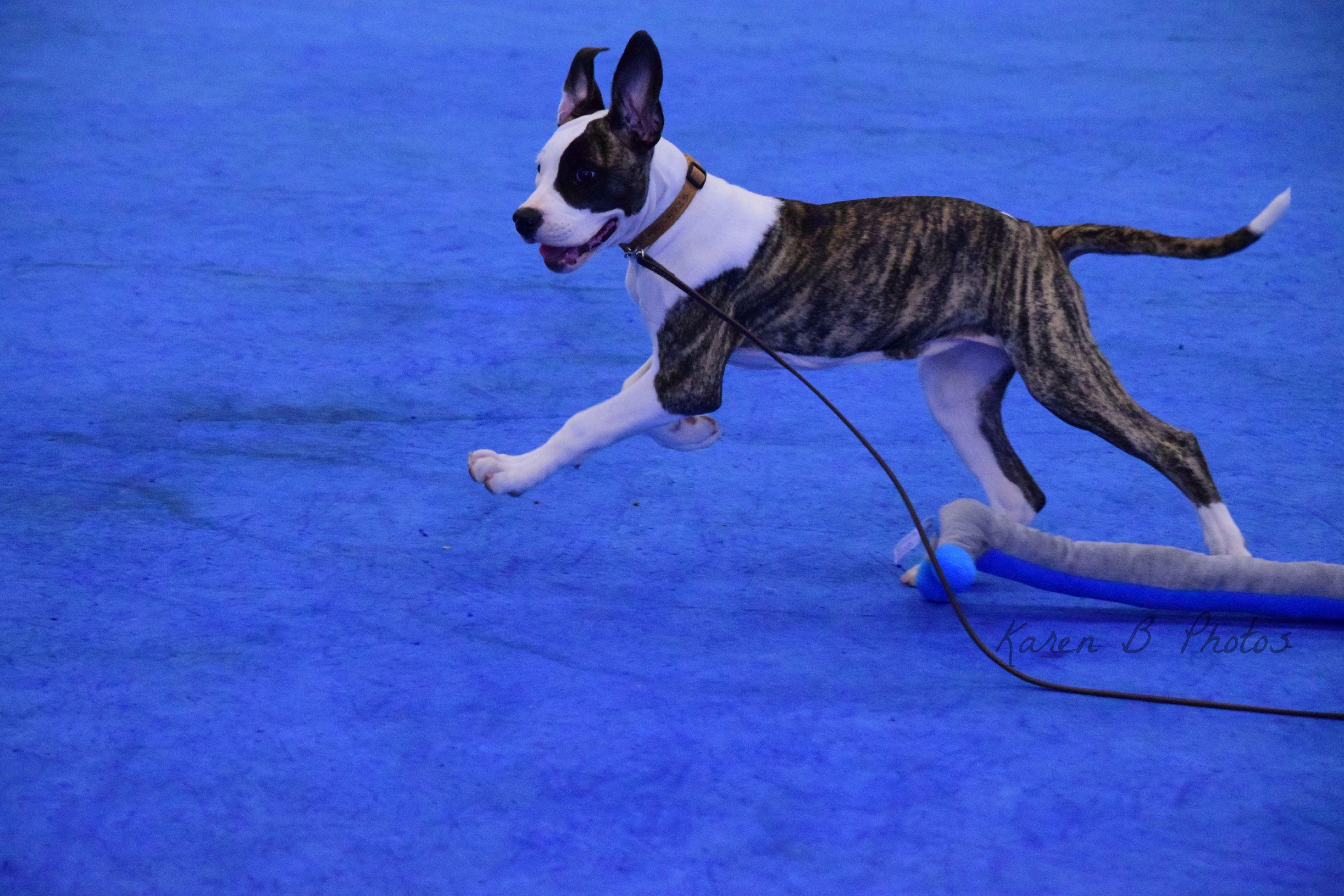 indoor dog play, dog training gym, dog playing