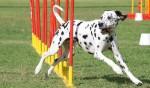dog agility, agility training, dog agility equipment, dog running weaves