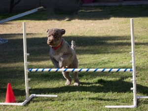 dog agility class, outdoor dog agility training, dog agility training