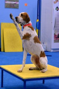 dog sport classes, dog sports training, Wager Table Tricks Class