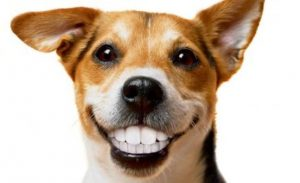 dog dental cleaning, dog anesthesia free dental cleaning