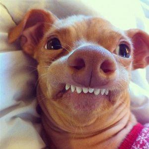 dog events, anesthesia free dog dental cleaning, az dog sports