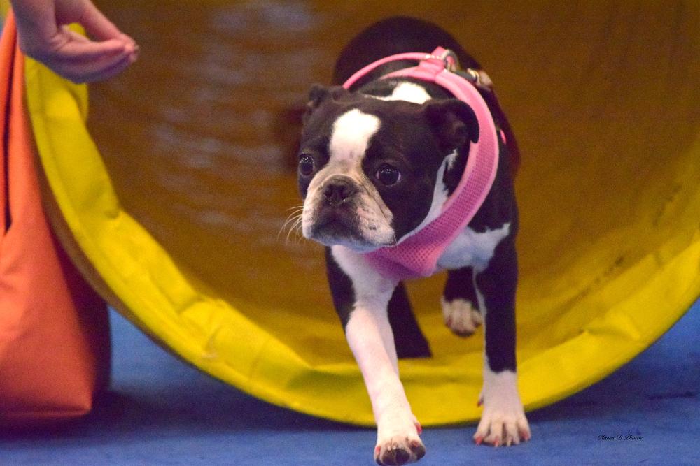 agility, dog agility, picking the right agility partner seminar, az dog sports
