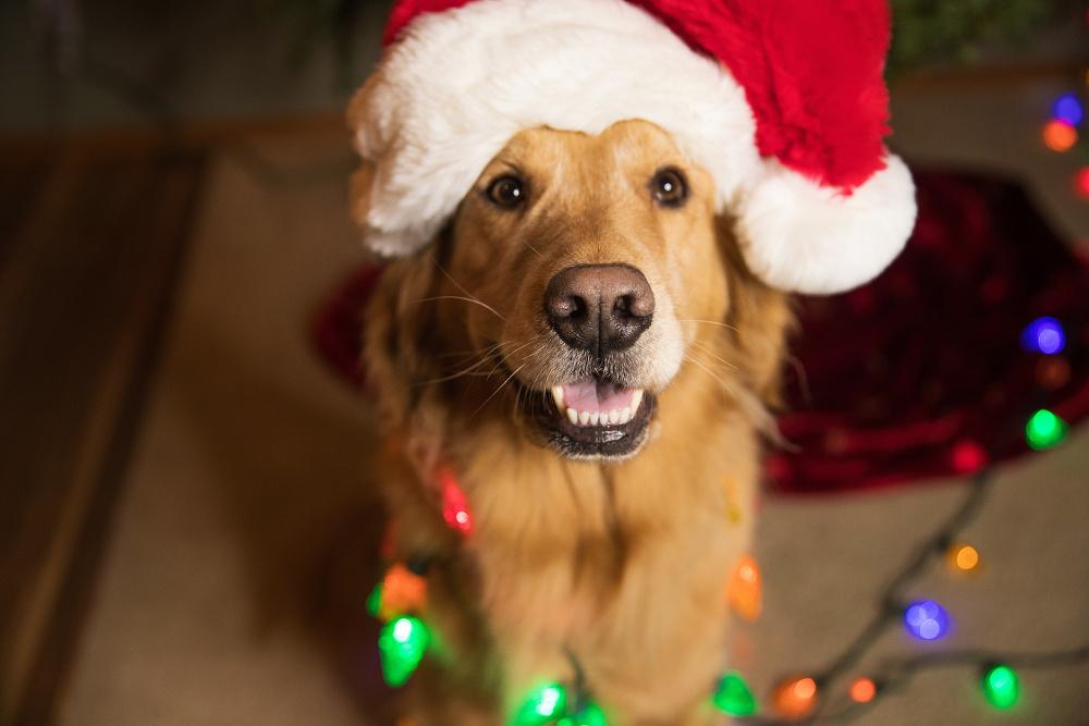 pets are safe, pet holiday, pet safety, az dog sports, dog training