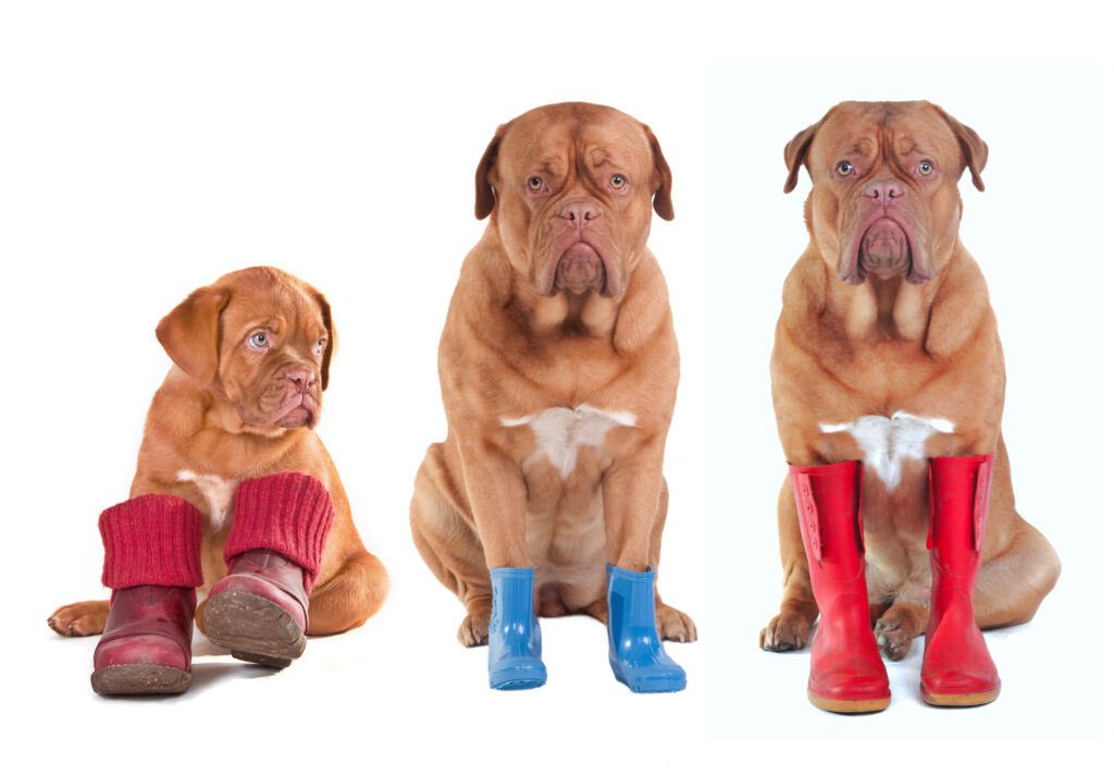 dog mocs, az dog sports, dog trainer phoenix, dog booties