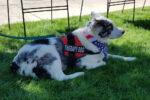 service dog, therapy dog, az dog sports, julie brewer