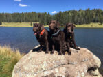 chocolate lab, dog of the month, az dog sports, water dogs