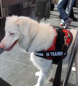 airport buddies, service dog, julie brewer