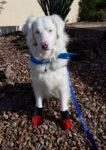dog safety, az dog sports, dog training phoenix, julie brewer