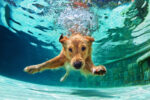 dog swim, az dog sports. dog swimming lessons