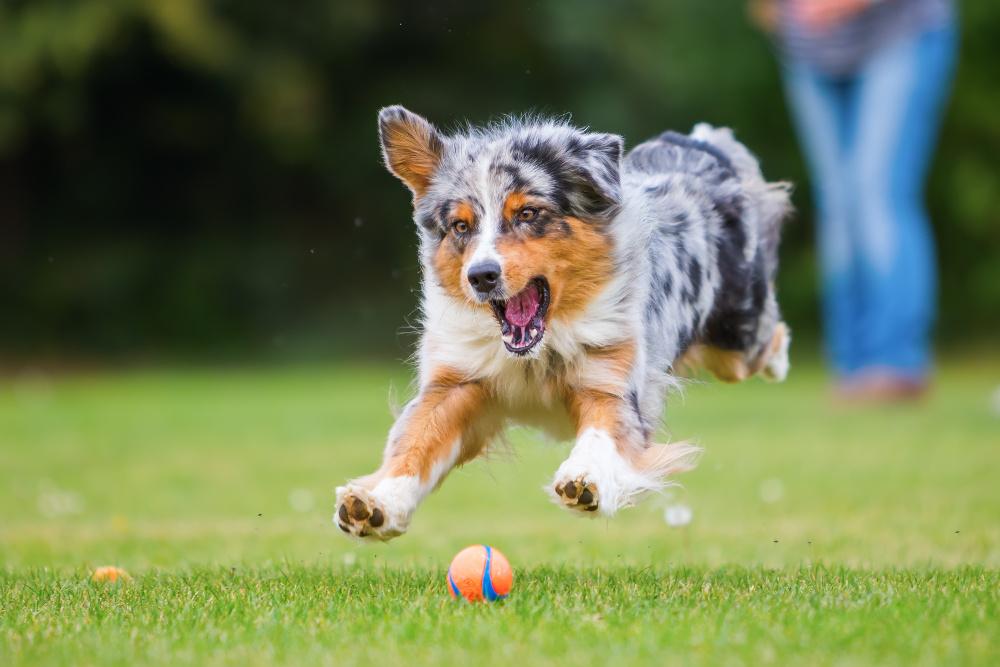 dog toys, az dog sports, dog safety, dog training