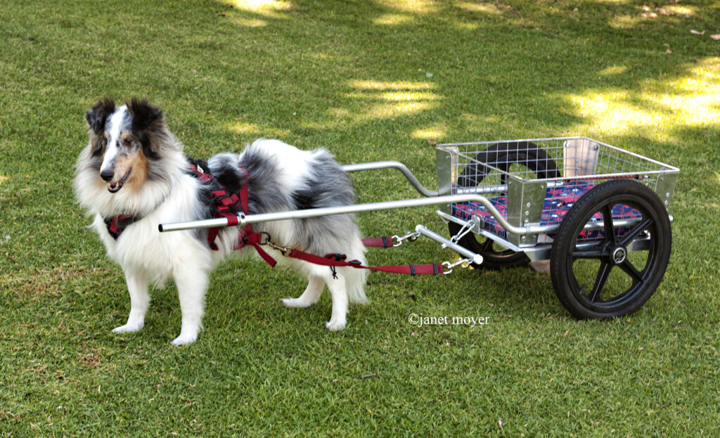 dog sport, carting, carting for dog, dog sport class