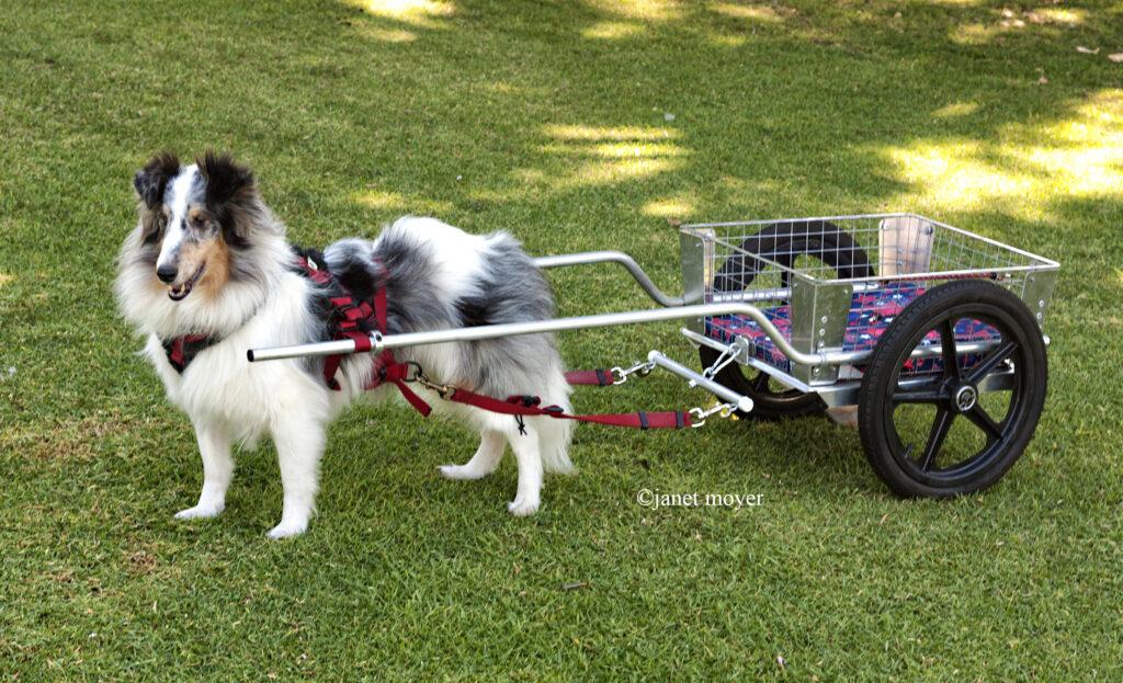 dog sport, carting, carting for dog, dog sport class