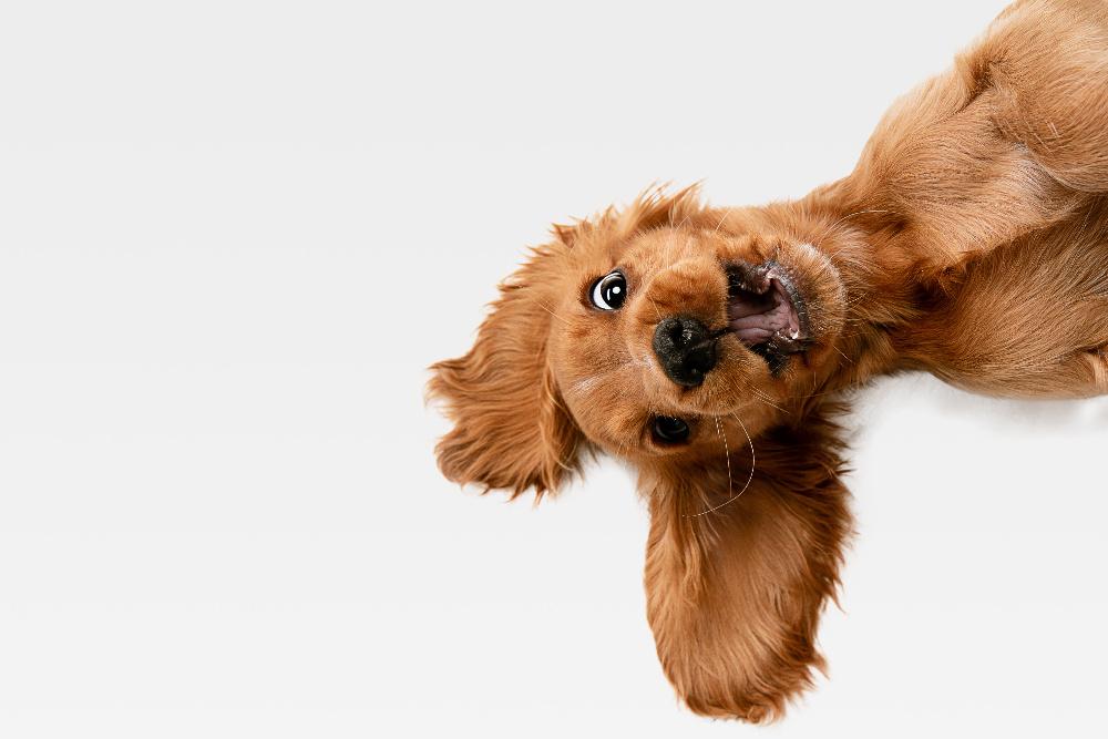 dog eyes, az dog sports, dog training