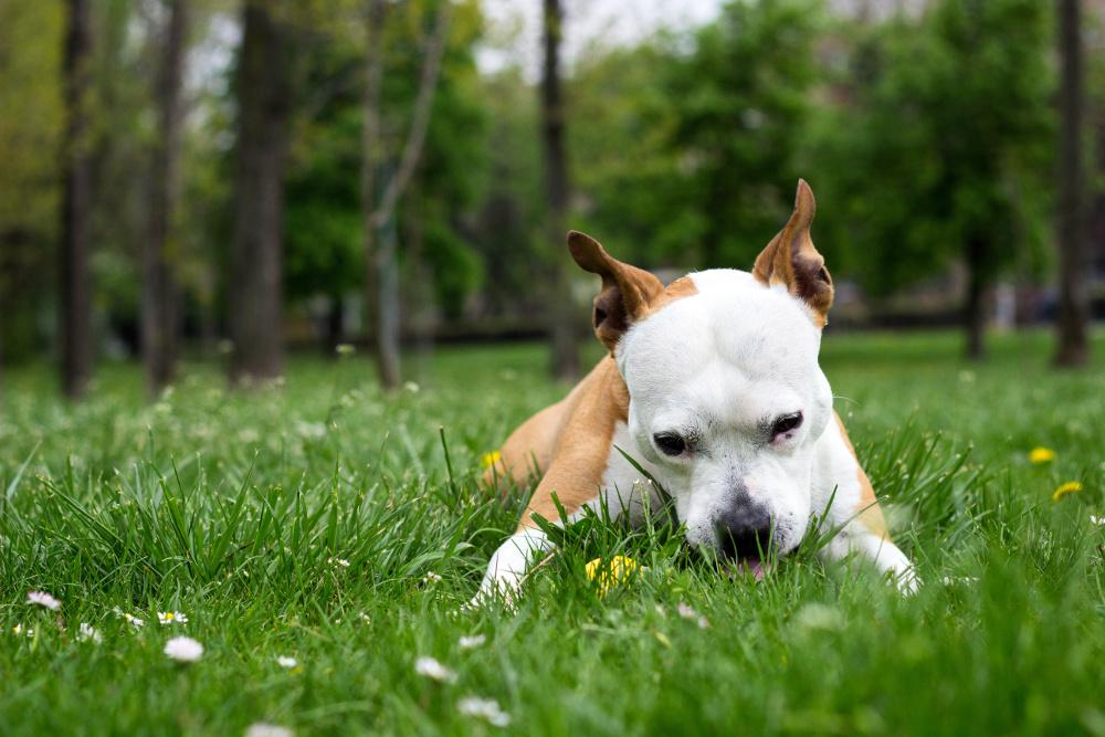 dogs eat grass, az dog sports, dog training phoenix