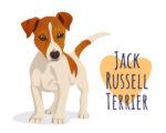 jack russell terrier, jack russell, az dog sports. dog trainer phoenix